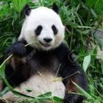 photograph of giant panda eating bamboo