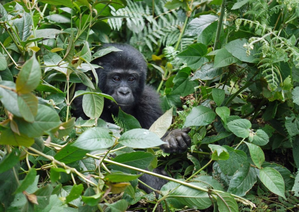 Gorilla eating in the midst of many tropical plants