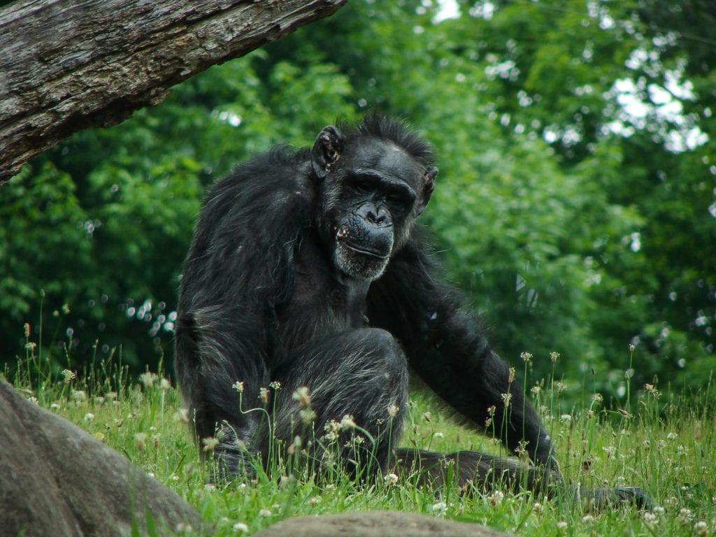 gorilla under a fallen tree