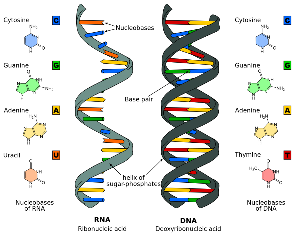 Uncategorized Dna And Rna Worksheet blogs page 3 bazzis biology blog dna vs rna