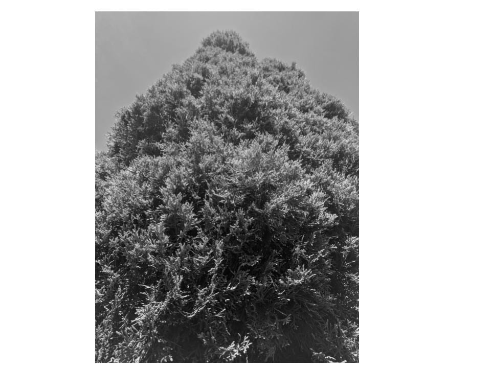 black and white photo of a tree