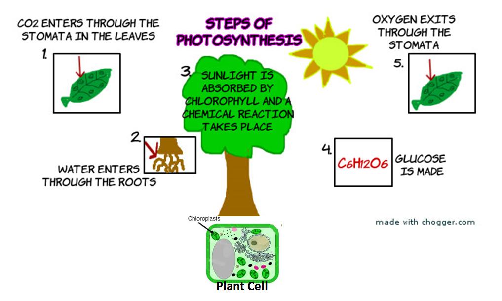 Photosynthesis Flow Chart Ms Baydouns Wildcat Laboratory Room 213